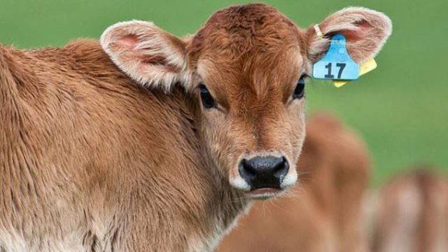 Állattenyésztő: Az állatorvos nem jön el feltenni a borjak füljelzőit. Mi a megoldás, hogy ne veszítsük el az APIA – támogatást?