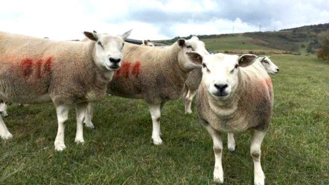 OILE TEXEL ÎN ROMÂNIA. Rasa de ovine pentru carne s-a adaptat PE PĂȘUNILE DIN HARGHITA!
